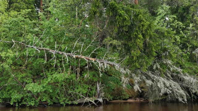 kaatuneet puut